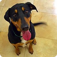 Adopt A Pet :: Chibs - Mission Viejo, CA