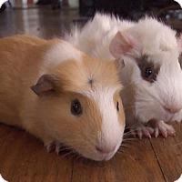 Adopt A Pet :: Nutter Butter - Steger, IL