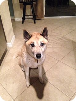 Husky Mix Dog for adoption in Palm City, Florida - Chico