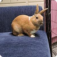 Adopt A Pet :: Ringo - Woburn, MA