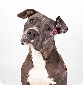 American Staffordshire Terrier Mix Dog for adoption in Denver, Colorado - Layla