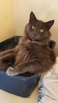 Domestic Mediumhair Cat for adoption in Napa, California - Sherwin