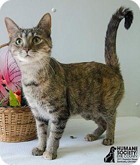 Domestic Shorthair Cat for adoption in Sandusky, Ohio - BEATRIX