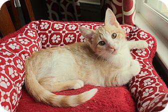 Domestic Shorthair Kitten for adoption in Marietta, Georgia - Marshmallow