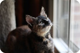 Domestic Shorthair Kitten for adoption in Richmond, Virginia - Mini