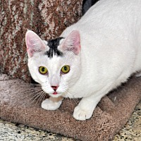 Domestic Shorthair Cat for adoption in West Hartford, Connecticut - Garrett