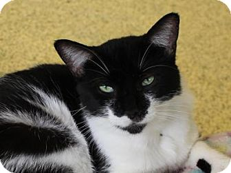 Domestic Shorthair Cat for adoption in Indianapolis, Indiana - Willow