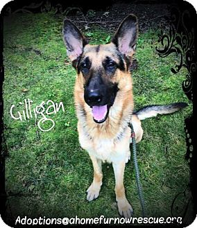 German Shepherd Dog Dog for adoption in Ronkonkoma, New York - Gilligan