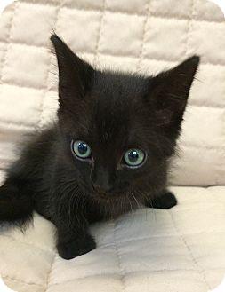Domestic Shorthair Kitten for adoption in Bonner Springs, Kansas - PoBoy