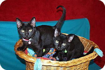 Domestic Shorthair Kitten for adoption in Jackson, Mississippi - Beemer & Bentley