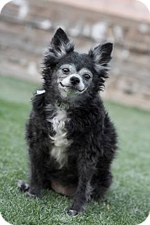 Pomeranian Mix Dog for adoption in Las Vegas, Nevada - Pixie