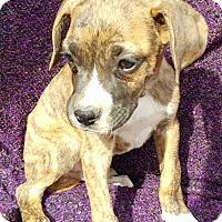 Adopt A Pet :: Cecil - Niagra Falls, NY