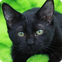 Bombay Cat for adoption in Cookeville, Tennessee - Sparticus - MEET ME @ PETCO