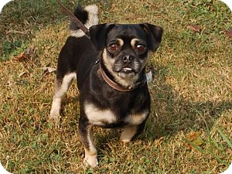Pug/Chihuahua Mix Dog for adoption in Winder, Georgia - Fiddler