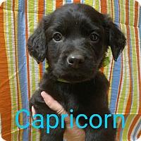 Adopt A Pet :: Capricorn - Garden City, MI