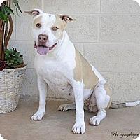 Adopt A Pet :: Sookie - Las Vegas, NV