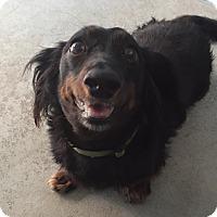 Adopt A Pet :: Freddy - Joplin, MO