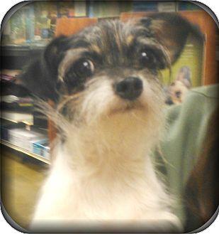 Shih Tzu/Chihuahua Mix Dog for adoption in Orlando, Florida - Gracie