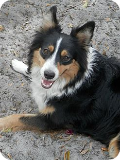 Image result for sheltie shepherd