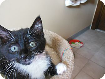 Domestic Shorthair Kitten for adoption in Southington, Connecticut - Bam Bam