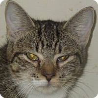 Domestic Shorthair Cat for adoption in Jacksonville, North Carolina - Leisha