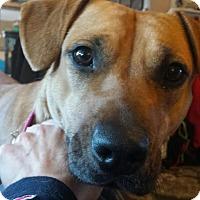 Adopt A Pet :: Layla - Manhasset, NY