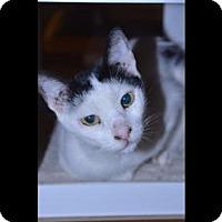 Adopt A Pet :: Moto - Glendale, AZ