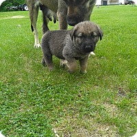 Adopt A Pet :: SWISS - Winnipeg, MB