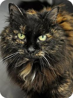 Domestic Mediumhair Cat for adoption in Northbrook, Illinois - Skinny Mini
