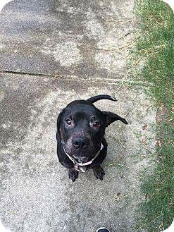 Labrador Retriever Mix Dog for adoption in Fairfax, Virginia - Bindi