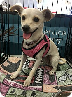 Chihuahua Mix Dog for adoption in Tucson, Arizona - Flower