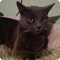 Russian Blue Cat for adoption in Bridgeton, Missouri - Lonnie