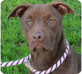 Labrador Retriever/Border Collie Mix Dog for adoption in Red Bluff, California - LIBERTY