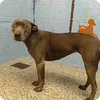 Labrador Retriever/Pit Bull Terrier Mix Dog for adoption in San Bernardino, California - URGENT NOW!  San Bernardino