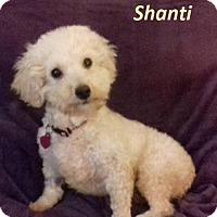 Adopt A Pet :: Shanti - Newport, KY
