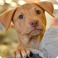 Shepherd (Unknown Type) Mix Puppy for adoption in Chicago, Illinois - Flower