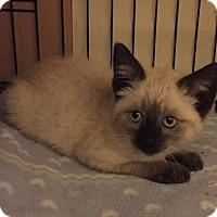 Adopt A Pet :: Nutmeg - Barrington, NJ