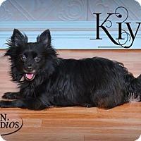 Pomeranian/Chihuahua Mix Dog for adoption in Valparaiso, Indiana - Kiya