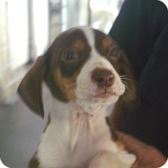 Beagle/Feist Mix Puppy for adoption in baltimore, Maryland - Clyde