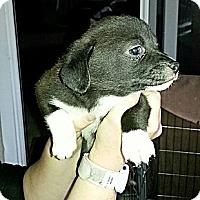Adopt A Pet :: Faith - Vista, CA