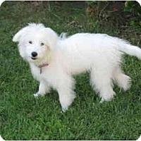 Adopt A Pet :: Princess - chandler, AZ