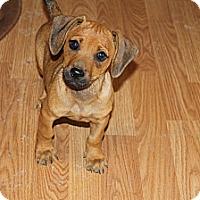 Adopt A Pet :: Ringo - Fountain, CO