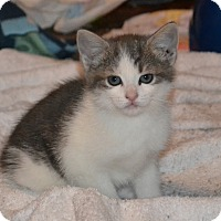 Adopt A Pet :: Jane's Foster Kitten - Tiger - Island Park, NY