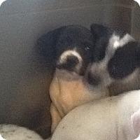 Adopt A Pet :: Goofy - springtown, TX