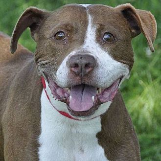 American Staffordshire Terrier Mix Dog for adoption in Medina, Ohio - Millie