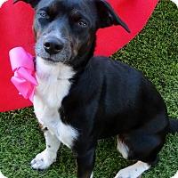 Adopt A Pet :: Dazzle - Irvine, CA