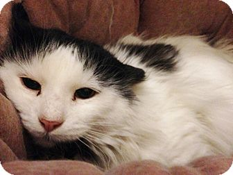 Domestic Longhair Cat for adoption in Chicago, Illinois - Sampson