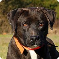 Adopt A Pet :: Roger - Glastonbury, CT