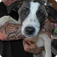 Adopt A Pet :: Sherlok - Brooklyn, NY