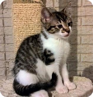 Domestic Shorthair Cat for adoption in Columbus, Ohio - Amy